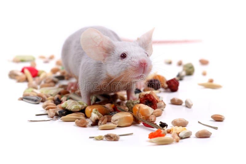 小的鼠标 库存图片