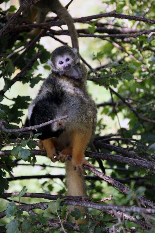 小的猴子在与她的年轻人的树坐她 免版税库存图片