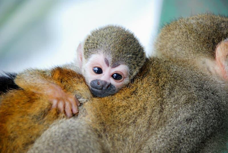 小的猴子拥抱您的妈妈 免版税库存图片