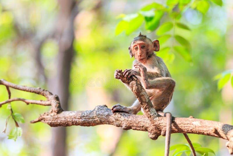 小的猴子(螃蟹吃短尾猿)在树 免版税库存照片