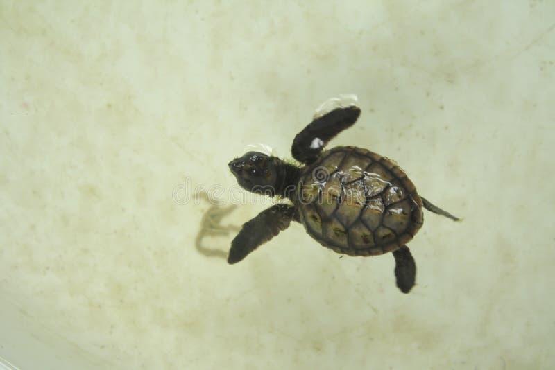 小的婴孩海龟在乌龟保护坦克游泳 免版税图库摄影