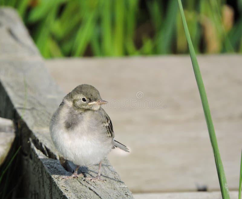小的令科之鸟鸟 免版税库存图片