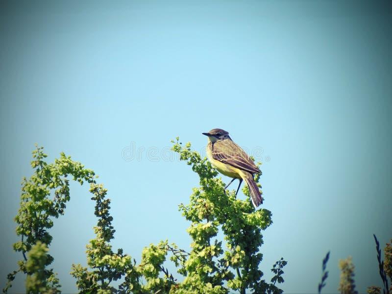 小的令科之鸟鸟 免版税图库摄影