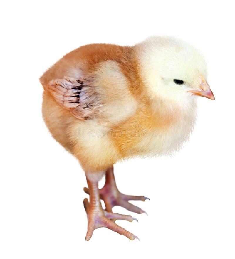 小的黄色鸡 免版税库存图片