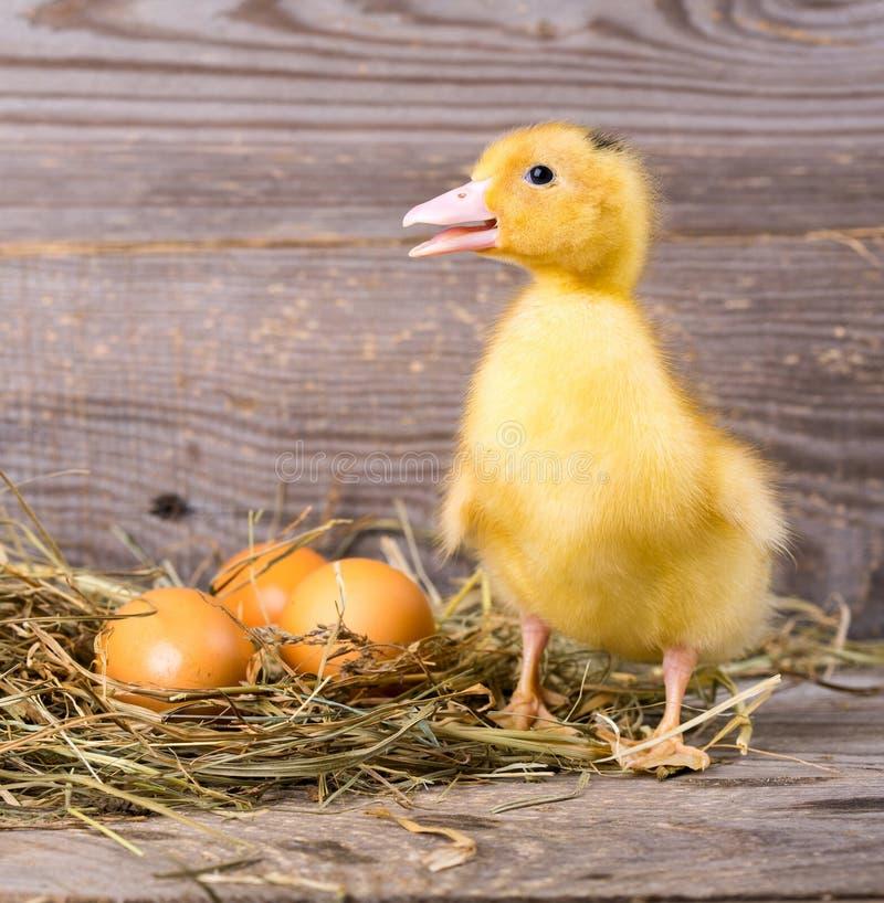黄色小�{�p_小的黄色鸭子. 新出生, 节假日.
