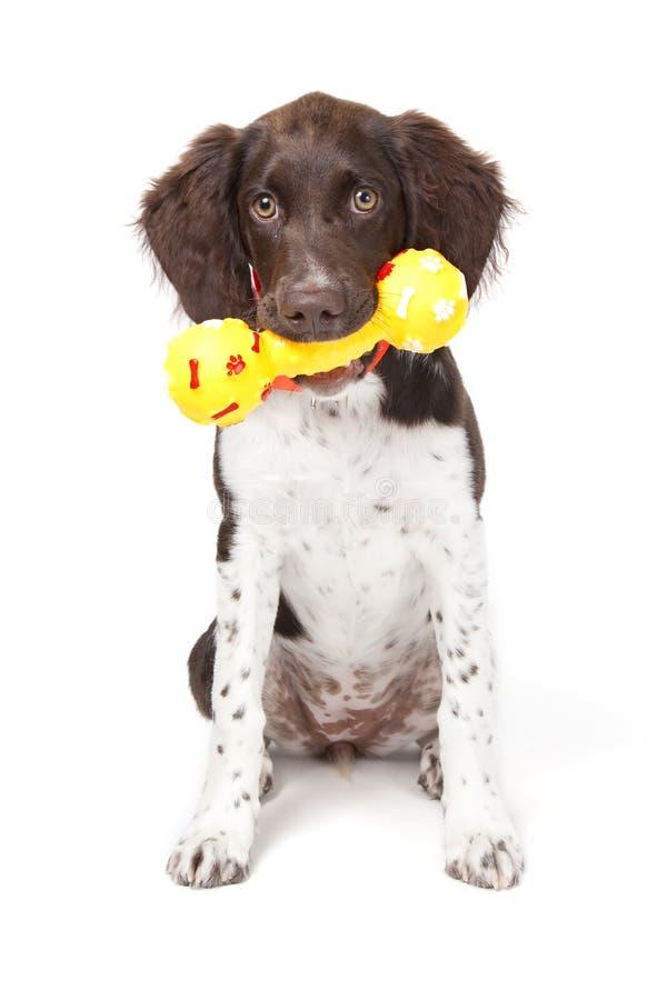 小的munsterlander小狗 免版税库存图片