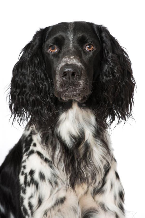 小的munsterlander狗 免版税图库摄影