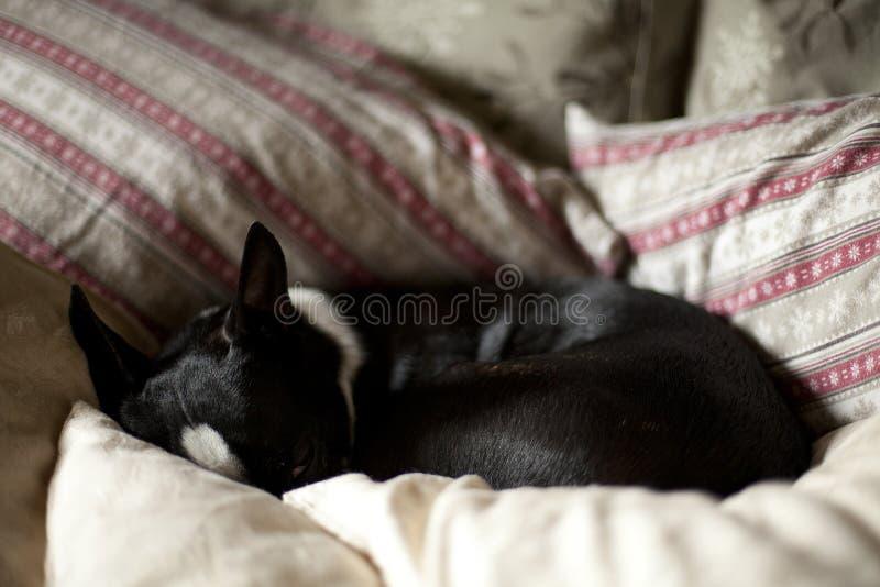小睡波士顿的狗 图库摄影