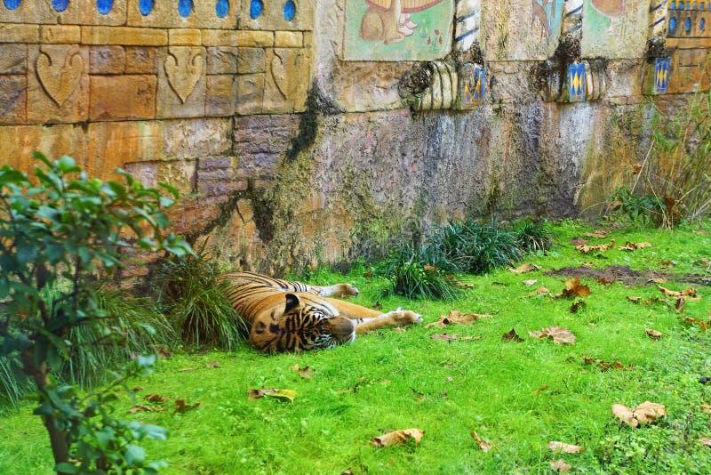 小睡的老虎在动物园里 免版税库存图片