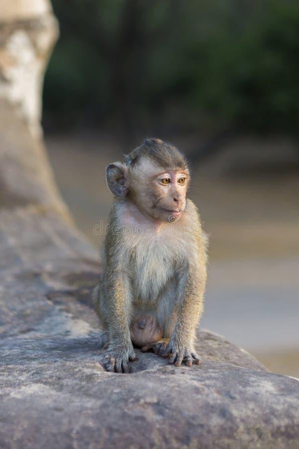 小短尾猿猴子坐吴哥,柬埔寨古老废墟  图库摄影