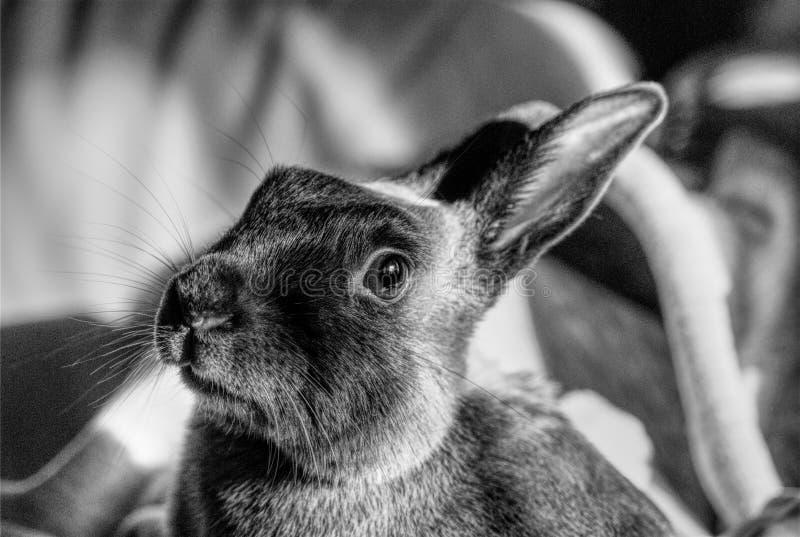 """小矮宠物兔""""皮西欧"""" 库存图片"""