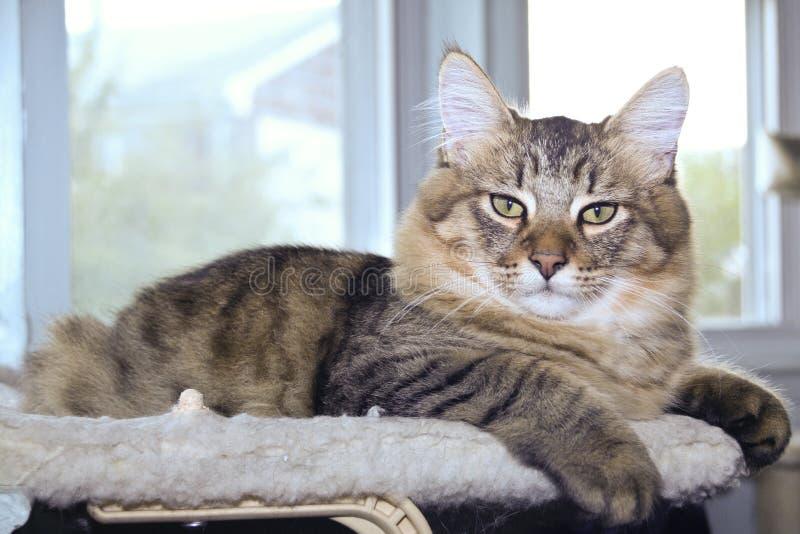 小精灵在靠窗座位的鲍伯猫 库存照片