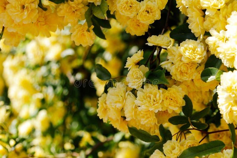 小精美黄色玫瑰花,罗莎banksiae,上升了开花在庭院里的花 免版税库存图片