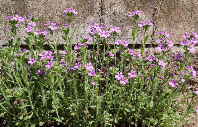 小紫色花在房子的墙壁附近增长 具体背景 库存照片