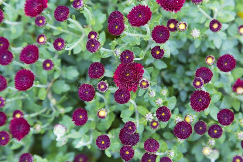 小红色庭院菊花花在绿色叶子被弄脏的背景的 库存照片