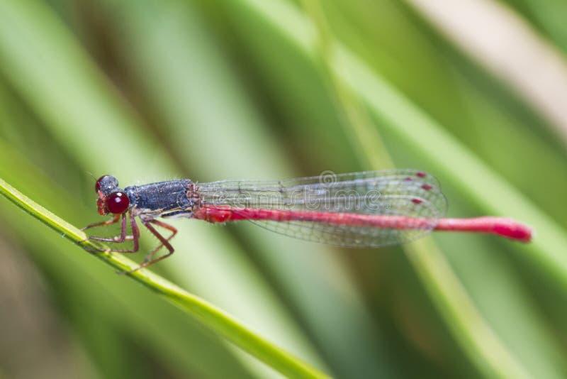 小红色蜻蜓(Ceriagrion tenellum) 库存照片