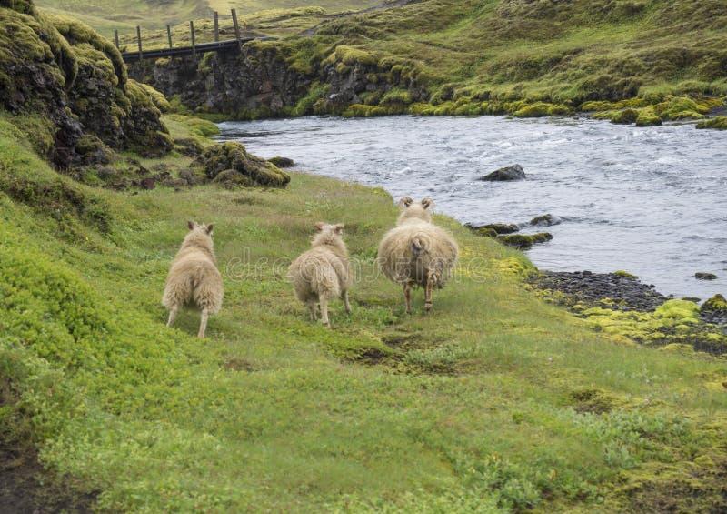 小组三只冰岛绵羊、母亲和羊羔跑掉在狂放的河小河银行的,人行桥草和青苔 库存照片