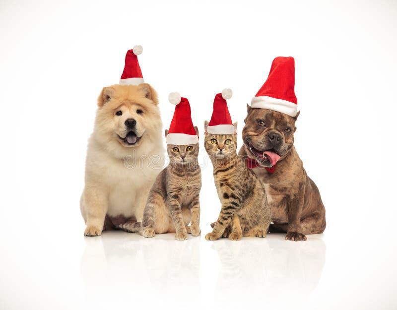 小组不同的品种四条圣诞老人猫和狗  免版税库存照片