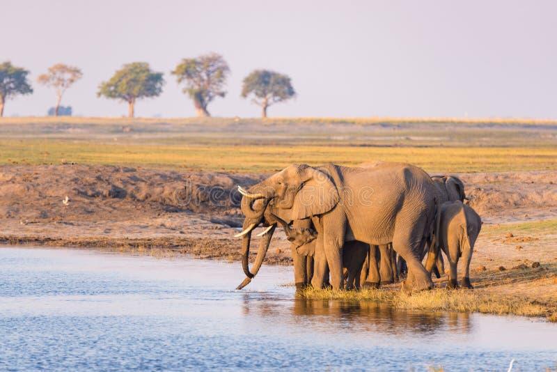 小组从Chobe河的非洲大象饮用水日落的 野生生物徒步旅行队和小船在乔贝国家公园巡航, 免版税库存图片