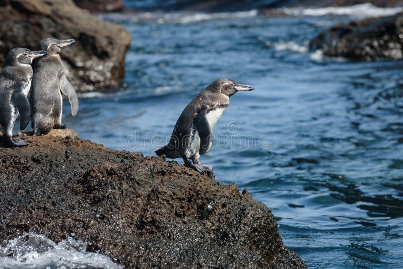 小组在一个岩石的加拉帕戈斯企鹅在圣地亚哥岛,加拉帕戈斯群岛,厄瓜多尔,南美洲 库存照片