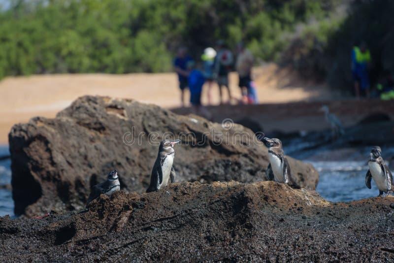 小组在一个岩石的penguis与游人在背景中在圣地亚哥岛,加拉帕戈斯群岛,厄瓜多尔,南美洲 免版税库存图片