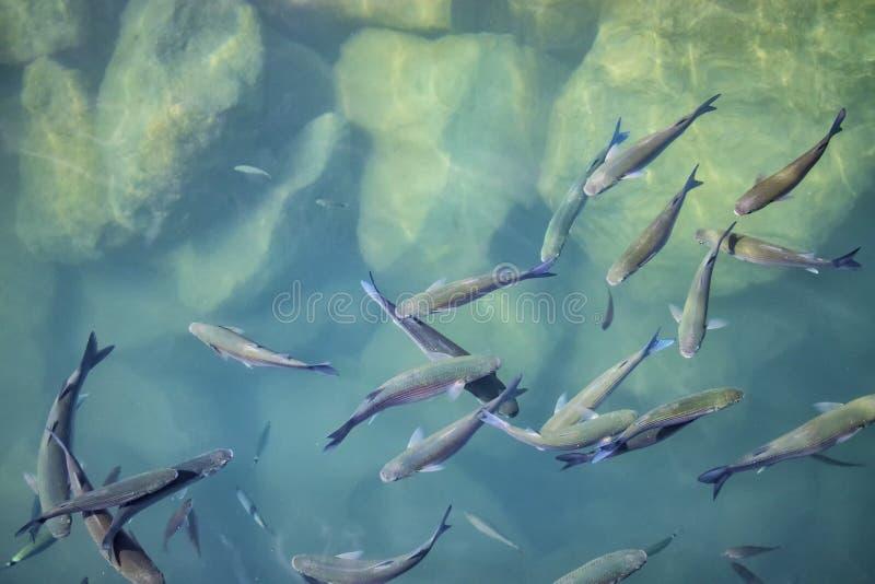 小组在大西洋清楚的绿松石海水的鱼  图库摄影