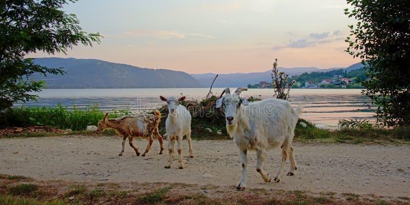 小组在朝向回到他们的棚子的土路的山羊在晚上在罗马尼亚乡下,侧视图 图库摄影