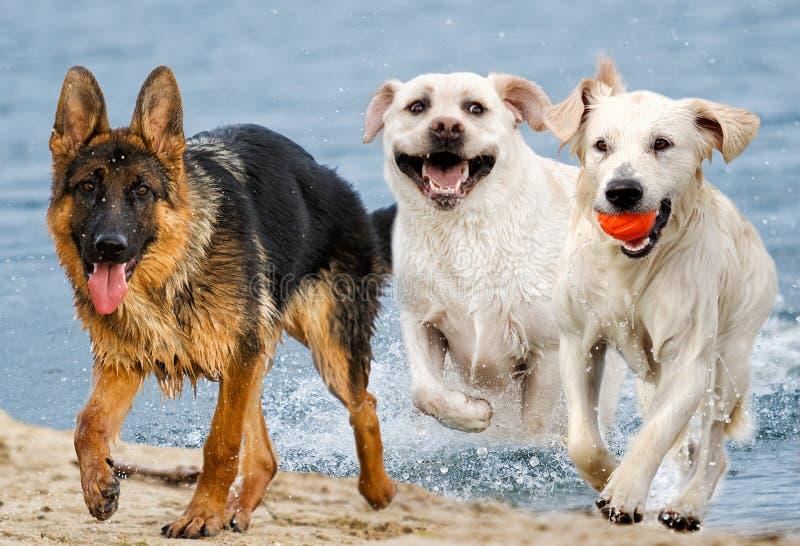 小组在海滩的狗 免版税图库摄影