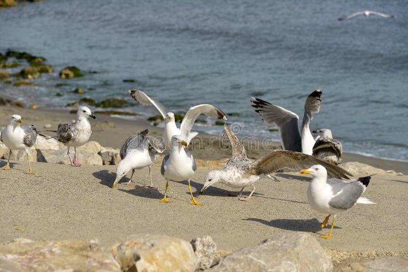 小组在海滩的Yellow-legged鸥 免版税库存图片
