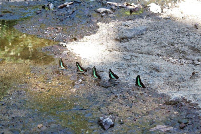 小组在湿岩石的蝴蝶 库存照片