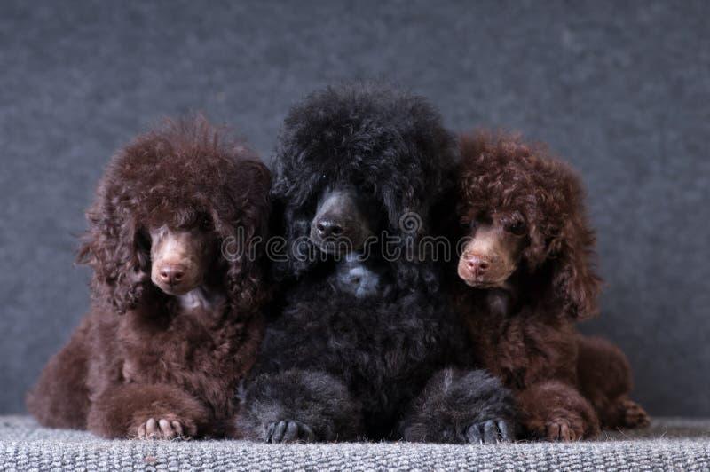 小组在灰色背景的长卷毛狗小狗在演播室 免版税库存图片