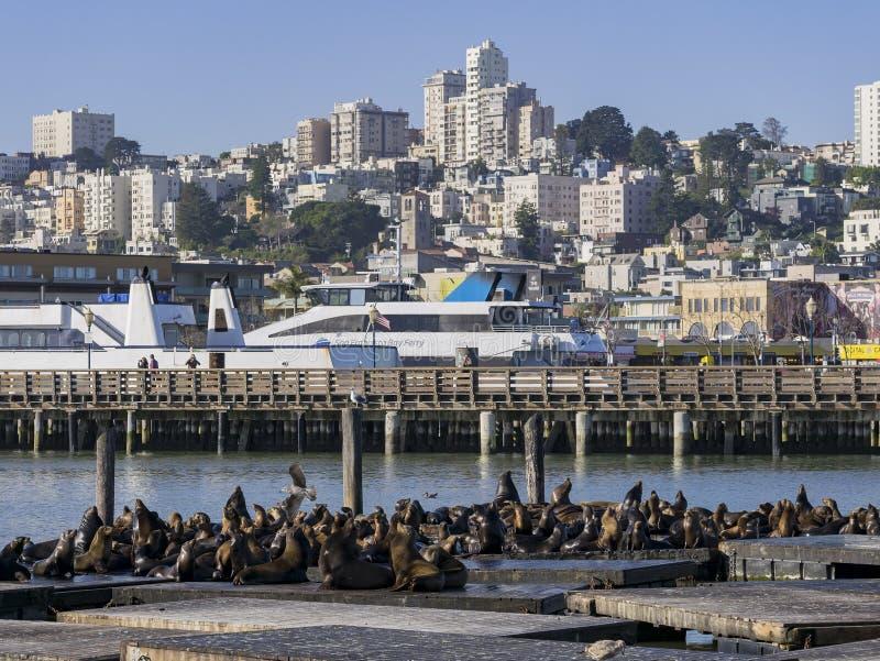 小组在码头39的海狮 库存照片