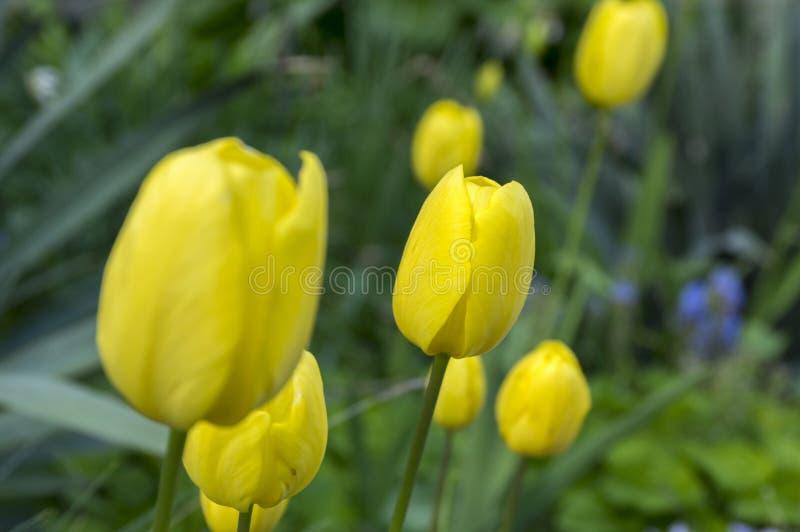 小组在绽放的共同的美丽的春天黄色郁金香庭院 免版税库存照片
