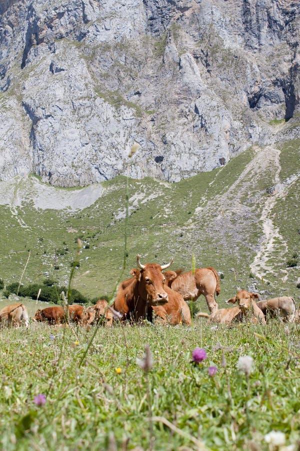 小组在草的母牛在山 库存照片