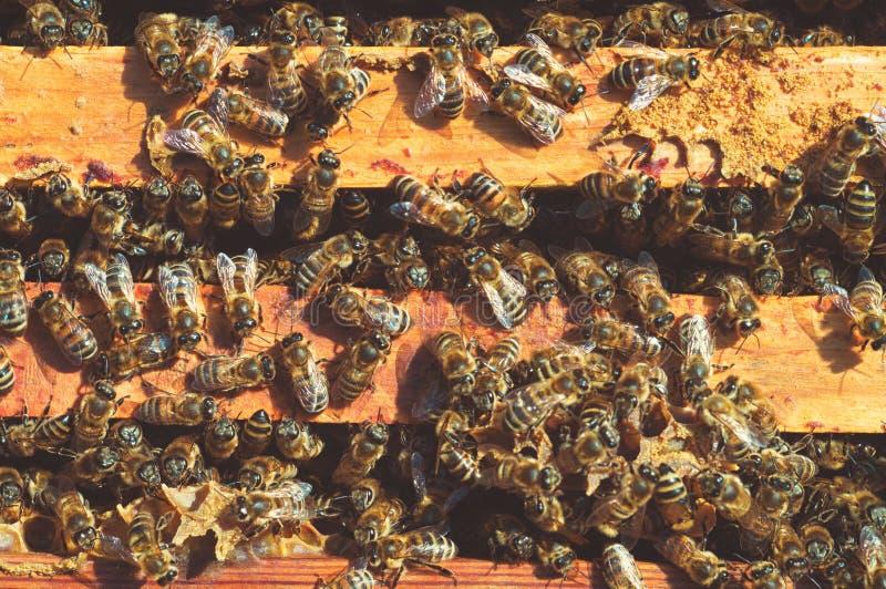 小组在蜂房框架昆虫的黄色蜂在春天狂放的自然特写镜头 蜂房在草甸 Macrophoto 免版税库存图片
