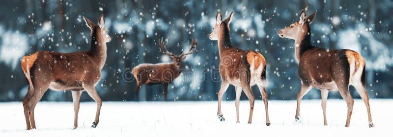 小组在雪白色森林高尚的鹿鹿elaphus的美丽的母和公鹿 艺术性的圣诞节冬天图象 库存照片