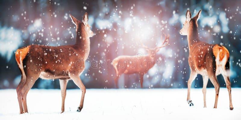 小组在雪白色森林高尚的鹿鹿elaphus的美丽的母和公鹿 艺术性的圣诞节冬天图象 库存图片