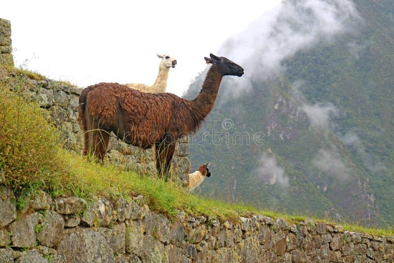 小组在马丘比丘印加人古老城堡,库斯科,乌鲁班巴,秘鲁的友好的骆马 库存图片
