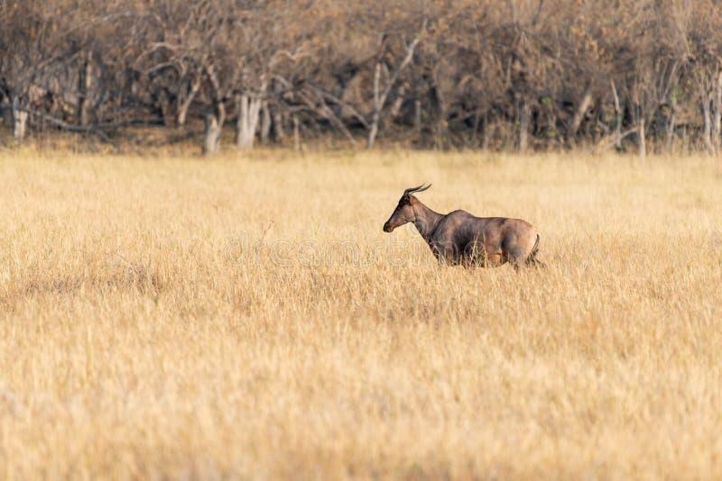 小组在Moremi比赛储备大草原的Hartebeests在非洲在博茨瓦纳 免版税图库摄影