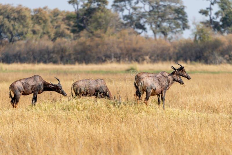 小组在Moremi比赛储备大草原的Hartebeests在非洲在博茨瓦纳 免版税库存图片