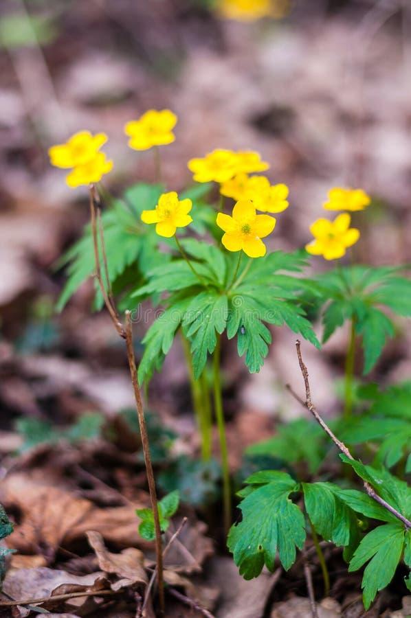 小组增长的银莲花属Ranunculoides或黄色五叶银莲花花在早期的春天森林里 免版税库存照片