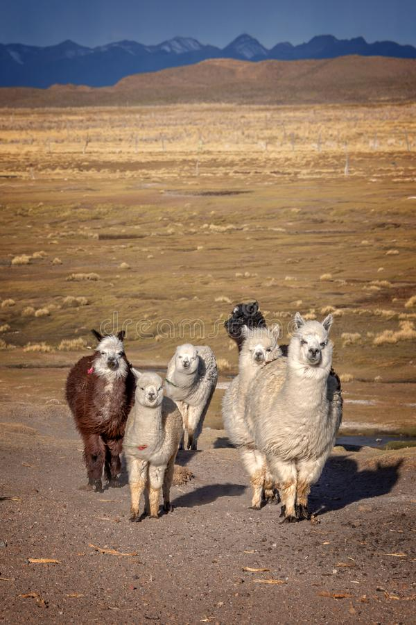 小组好奇羊魄在玻利维亚,安地斯山 库存图片