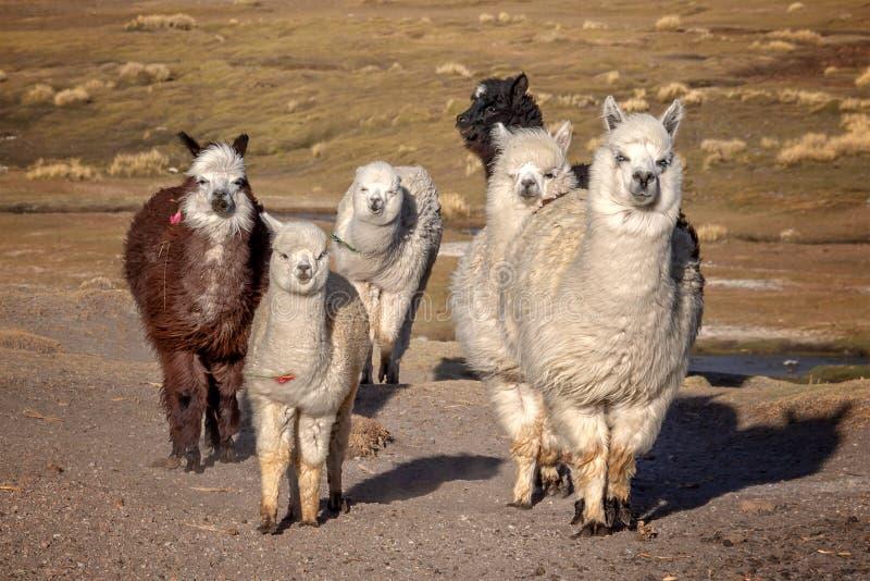 小组好奇羊魄在玻利维亚 免版税库存图片