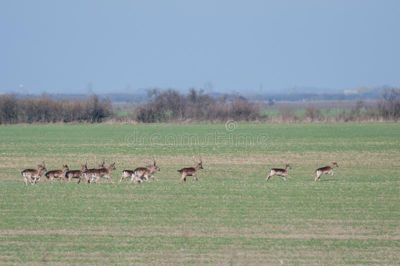 小组小鹿跑掉到灌木的黄鹿黄鹿 库存图片