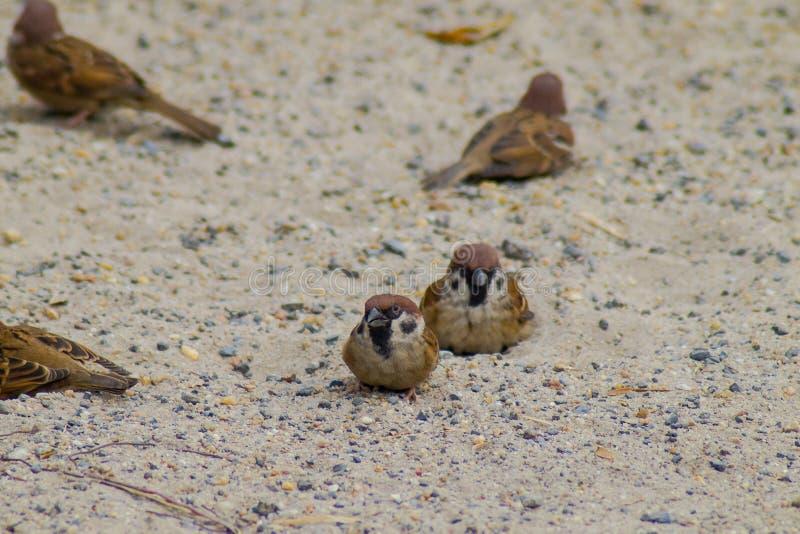 小组小麻雀尝试对插页在温暖的沙子有自然本底 库存照片