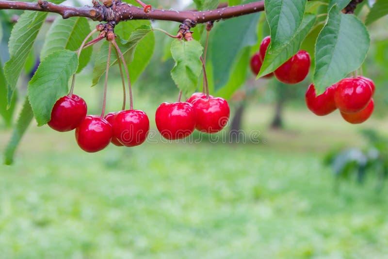 小组成熟和新鲜的红色樱桃在樱桃树垂悬在果子村庄或果树园在北海道,日本 库存照片