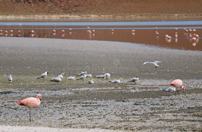 小组桃红色火鸟和海鸥在拉古纳Hedionda,盐湖在安地斯山的阿尔蒂普拉诺高原,波托西,玻利维亚,南美洲 库存图片