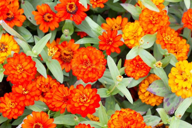 小组橙色和黄色花 库存图片