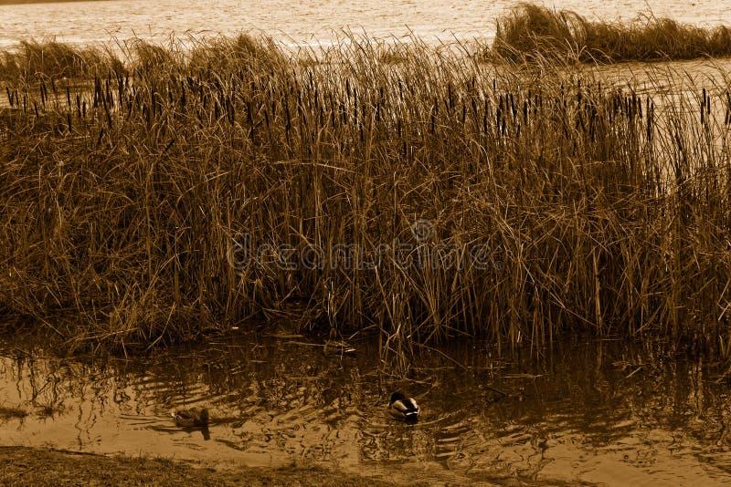 小组游泳鸭子在河 寒冷最新秋天或早期的冬天,乌贼属背景 免版税库存照片