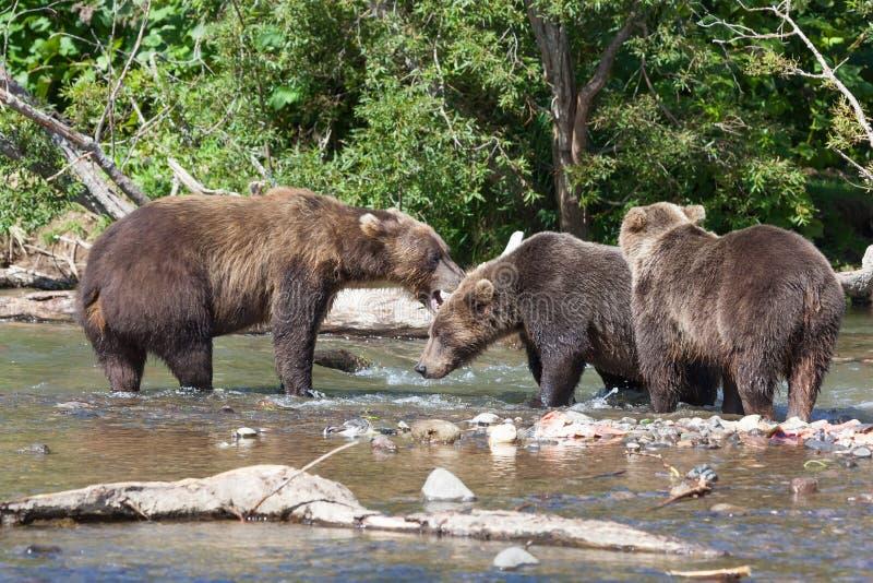 小组狂放的棕熊熊属类arctos北美灰熊战斗在湖 免版税库存照片